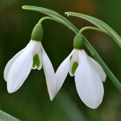 Bulbi Galanthus woronowii  (Ghiocei simpli) -pachet 100 bulbi