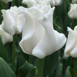 Bulbi lalele Coronet White Liberstar