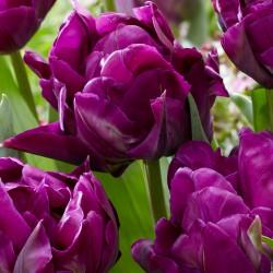 Bulbi lalele Double late (tarzii) Purple Paeony
