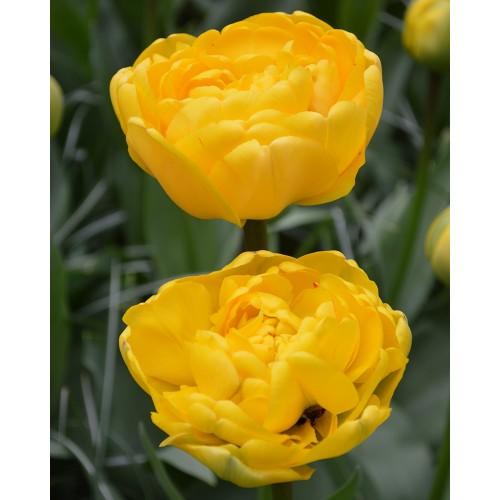 Bulbi lalele Duble tarzii (Late) Yellow Pomponette