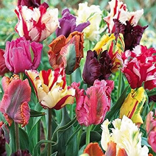 Bulbi lalele Multiflowered(multiflore) -Pachet 3 bulbi