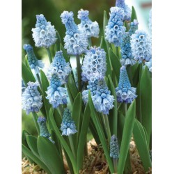 Bulbi Muscari azureum Blue -pachet 100 bulbi
