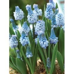 Bulbi Muscari azureum Blue -pachet  50 bulbi