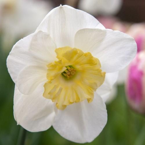 Bulbi narcise coroana mare Papilon Blanc