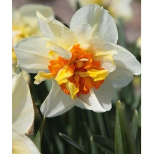 Bulbi narcise batute (double) Flower Drift