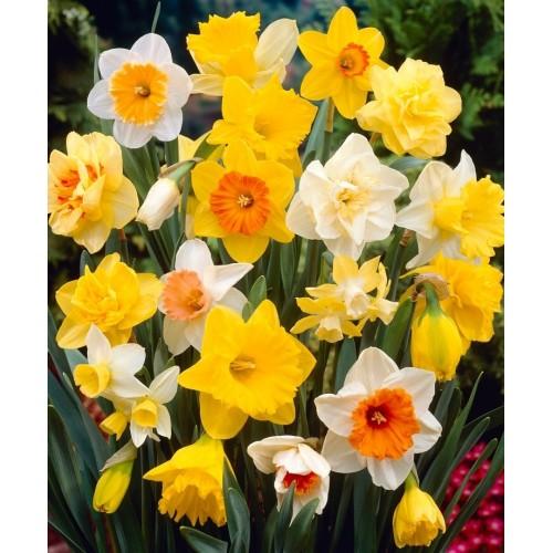 Bulbi Narcise- Pachet  40 bulbi