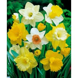 Bulbi Narcise trompeta- Pachet 3 bulbi