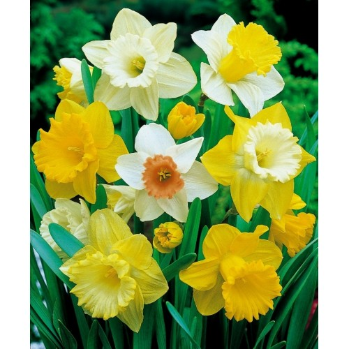 Bulbi Narcise trompeta -Pachet 3 bulbi