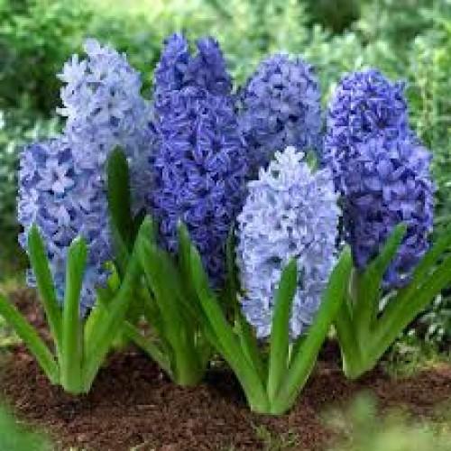 Bulbi zambile- Pachet amestec Albastru 5 bulbi
