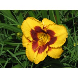 Plante Hemerocallis Blueberry Cream