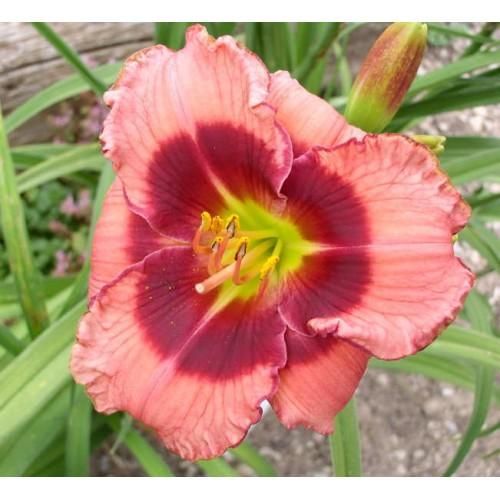 Plante Hemerocallis Dan Mahony