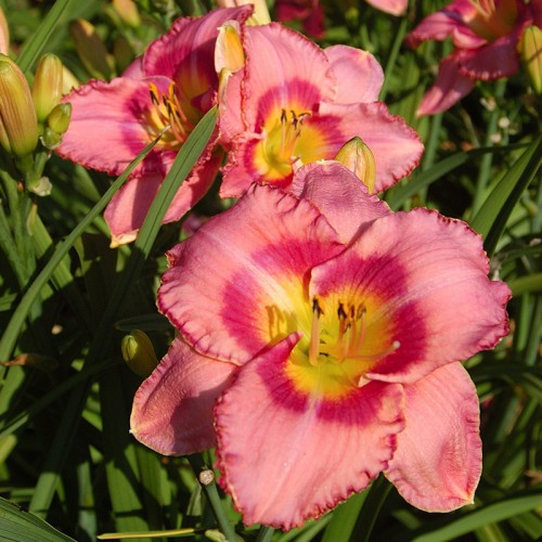Plante Hemerocallis Dress Pink