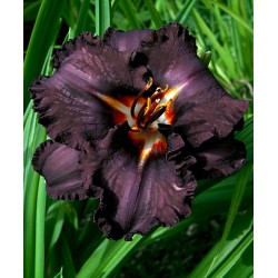 Hemerocallis Longfields Black Magic