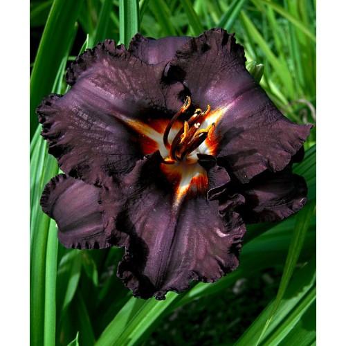 Hemerocallis Longfields Black Magic