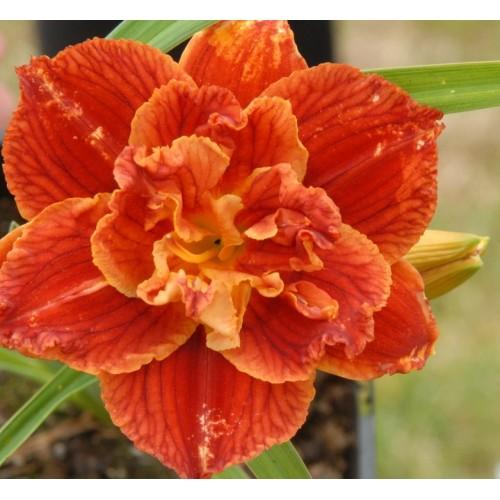 Plante Hemerocallis Paprika Flame