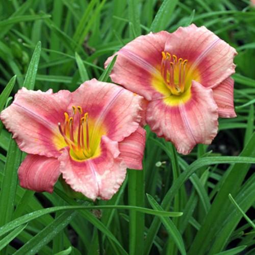 Plante Hemerocallis Rosy Returns