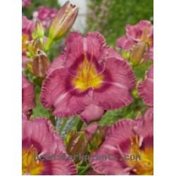 Plante Hemerocallis Always Liberty