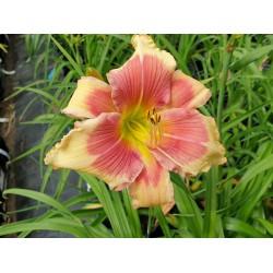 Plante Hemerocallis Angels Beauty