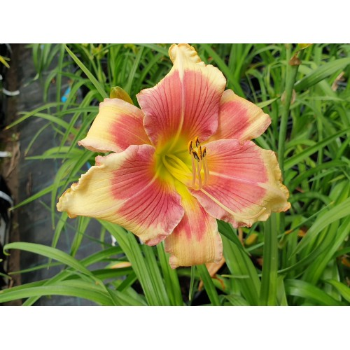Plante Hemerocallis Angels Beauty