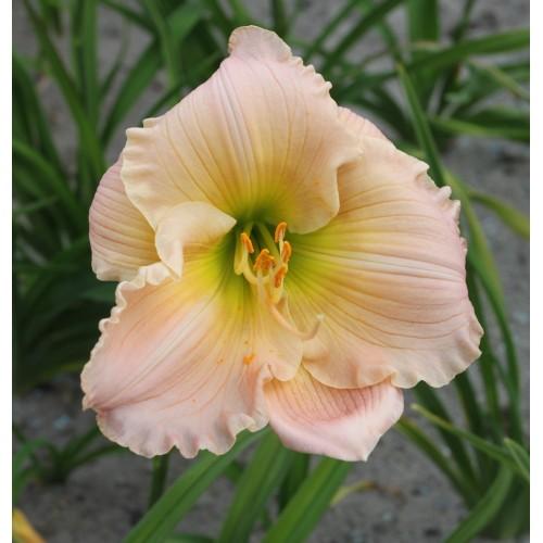 Plante Hemerocallis Barbara Mitchell