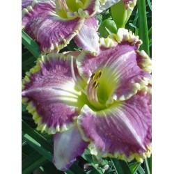 Plante Hemerocallis Bestseller