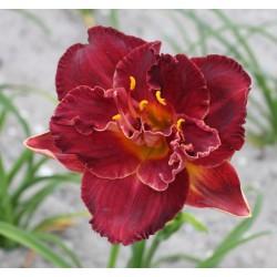 Plante Hemerocallis Burgundy Love