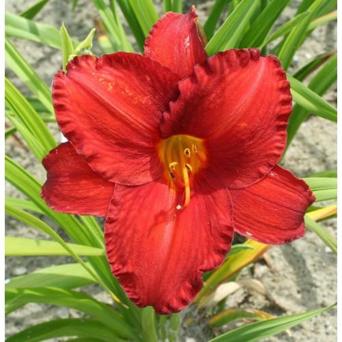 Plante Hemerocallis Chicago Apache