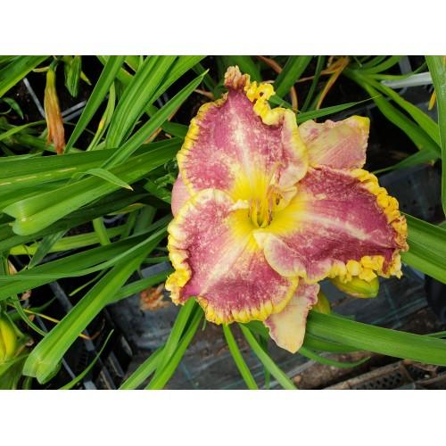Plante Hemerocallis Daria