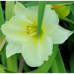 Plante Hemerocallis Happy Yellow