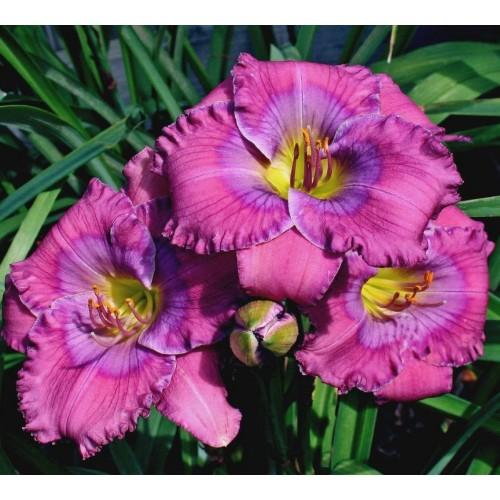 Plante Hemerocallis Lavender Blue Baby