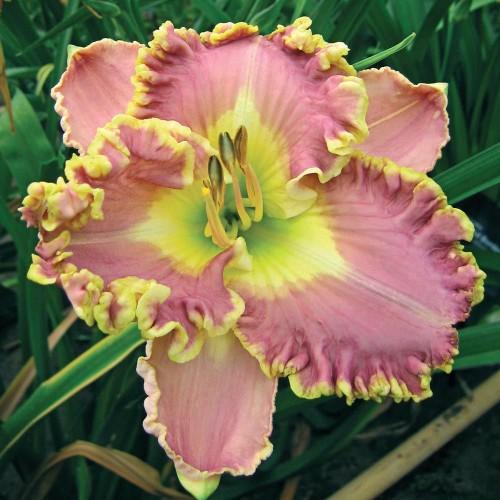 Plante Hemerocallis Lavender TuTu
