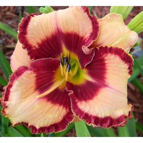 Plante Hemerocallis Lies and Lipstick