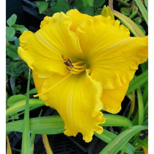 Plante Hemerocallis Marys Gold