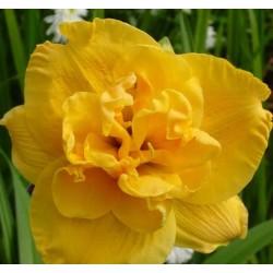 Plante Hemerocallis Patricia Jojo