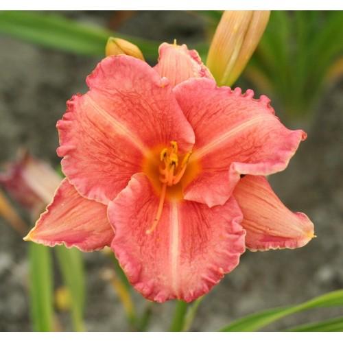Plante Hemerocallis Pretty Fancy
