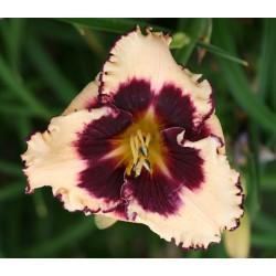 Plante Hemerocallis Sabine Bauer