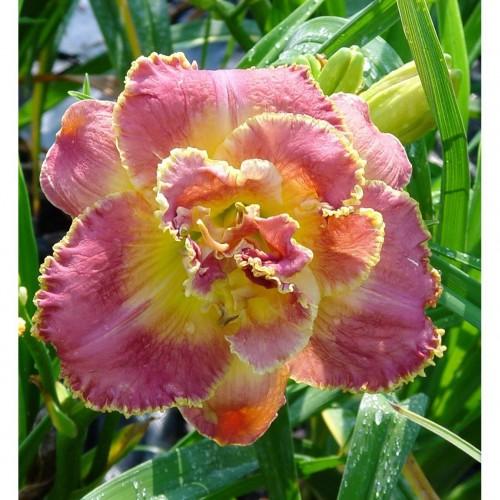 Plante Hemerocallis Unlock The Stars