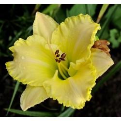 Plante Hemerocallis Villa Vanilla