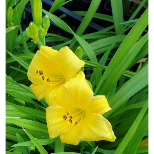 Plante Hemerocallis Yellow Lollipop