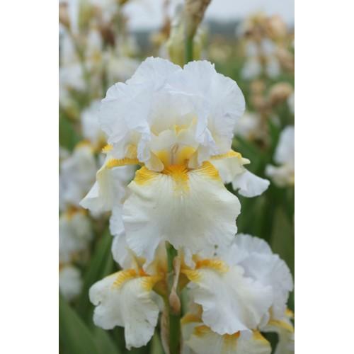 Plante- Iris germanica Arctic Sunrise