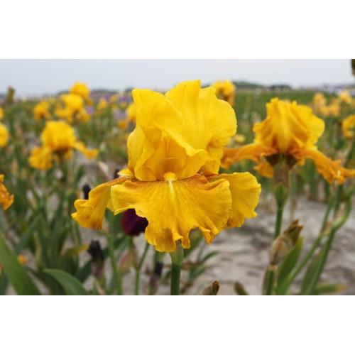 Plante- Iris germanica Aztec Treasure
