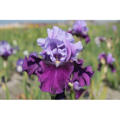Plante- Iris germanica Bluebird Wine