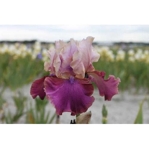 Plante- Iris germanica Burgemeister