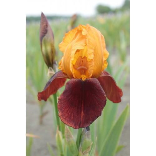 Plante- Iris germanica Caligula