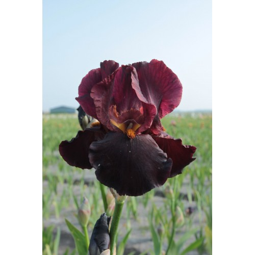 Plante- Iris germanica Chief Waukesha
