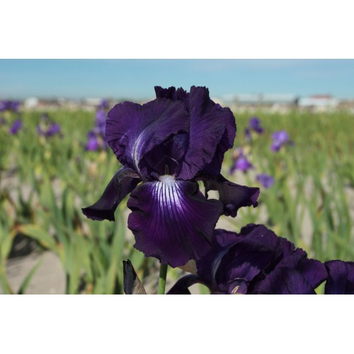 Plante- Iris germanica Exotic Star