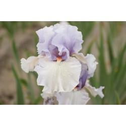 Plante- Iris germanica Fogbound