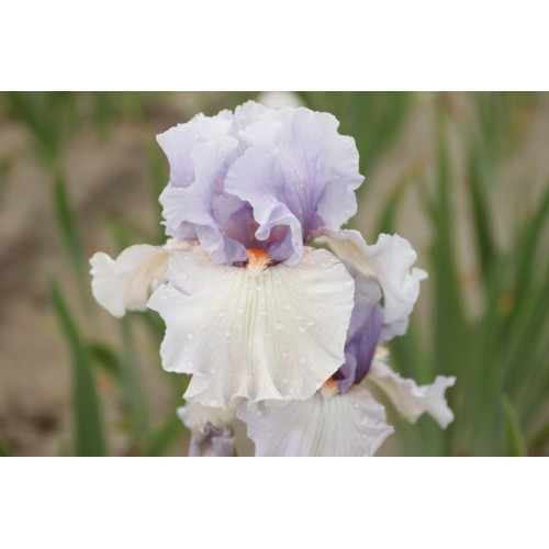 Plante- Iris germanica Fogbound