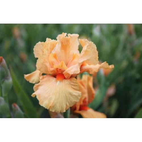 Plante- Iris germanica Maid of Orange