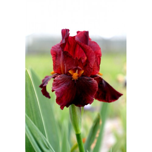 Plante- Iris germanica Red Zinger